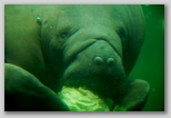 Manatee lunch -- heads of cabbage