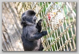 A marmoset sets upon a plan for a snack...