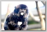 A marmoset caught very much in the act